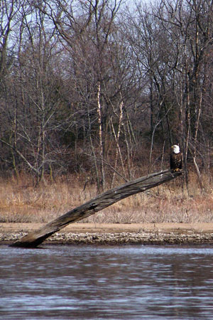 photo of a bald eagle on a tree near the edge of a river